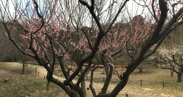 梅のパノラマ写真