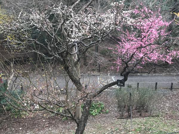 白と赤の花を咲かせる梅