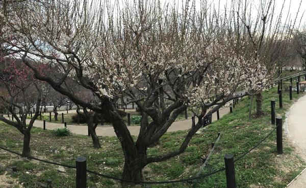 梅のパノラマ写真 その2
