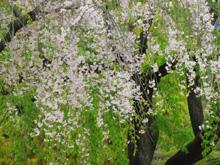 しだれ桜イメージ