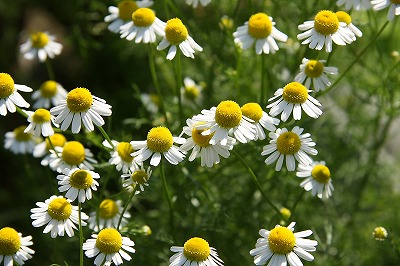 German Chamomile.jpg