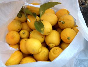 レモン豊作