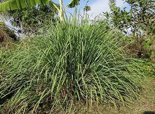 Lemongrass-s.jpg