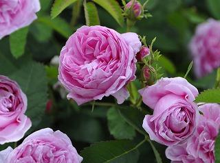 rose1-s.jpg