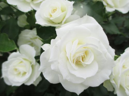 白いバラのイメージ