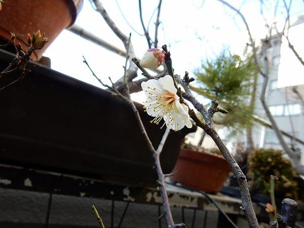 デオドールの庭に咲く白梅