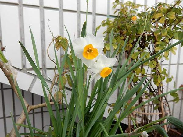 デオドールの庭に咲く水仙