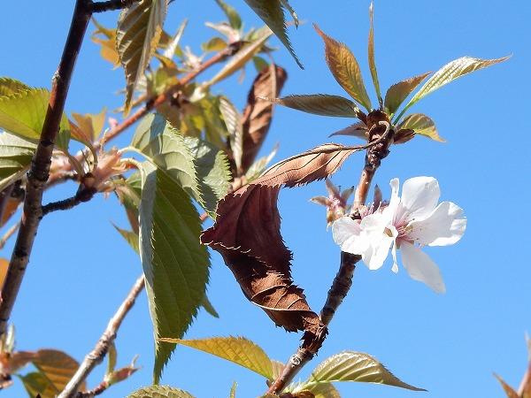 オオシマザクラの若木