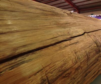 樹齢1000年のタイワンヒノキ