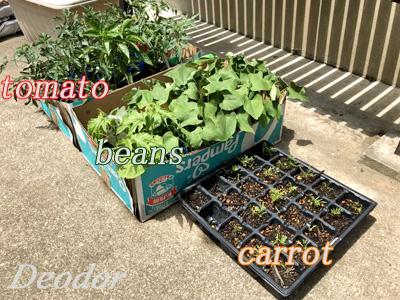 家庭菜園の苗