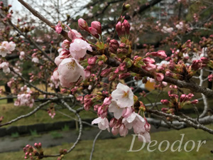 浜離宮の桜