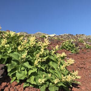富士山植物6.jpg