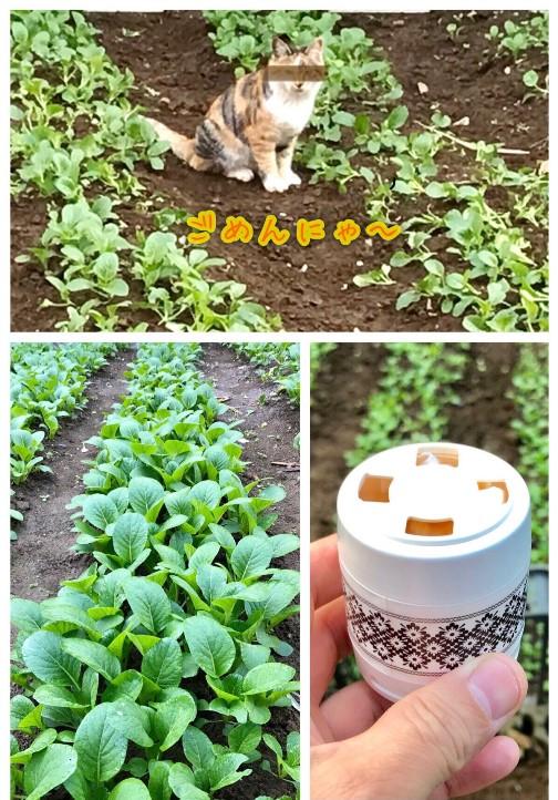 小松菜畑と猫