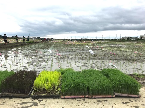 田んぼアート用の稲