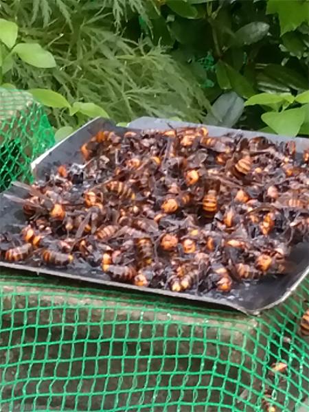 スズメバチ5